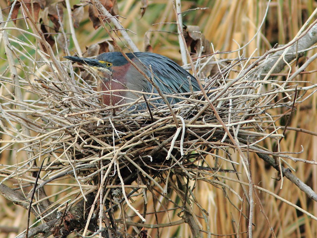 Green Heron on nest 4HT 2-20120413