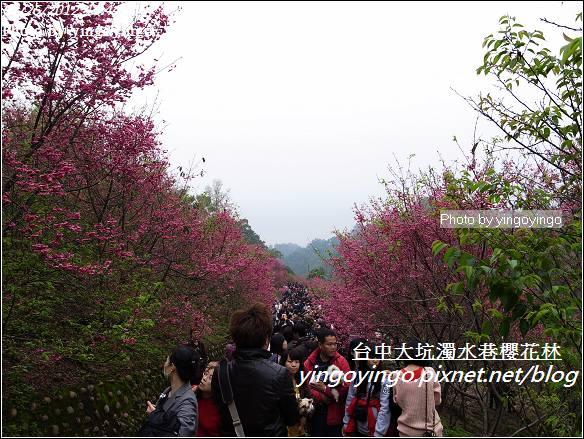 台中市北屯_大坑濁水巷櫻花林20120225_R0059951