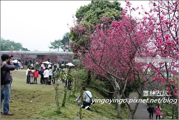 雲林古坑_古坑櫻花20120226_I2756