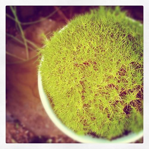 Scotch moss.