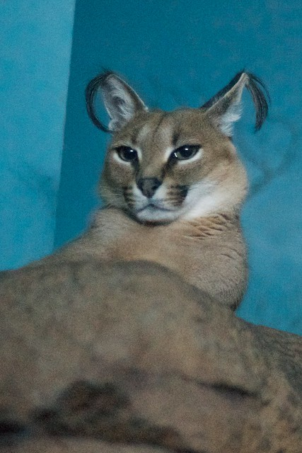 Caracal Tufts