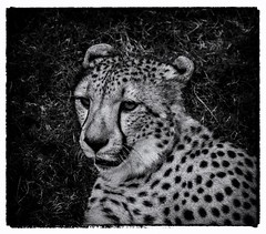 animal, big cats, cheetah, leopard, mammal, monochrome photography, fauna, monochrome, illustration, black-and-white,