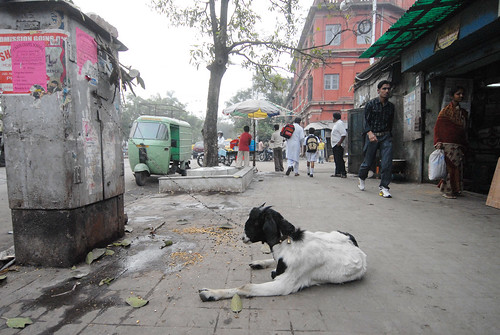 A goat sits on a Kolkata sidewalk. Photo by Bruno J. Navarro.