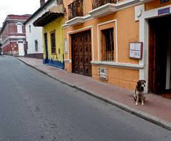 Bogota Street Dog