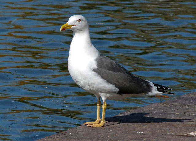 25681 - Lesser Black Backed Gull, Cosmeston