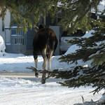 Moose (Departing)