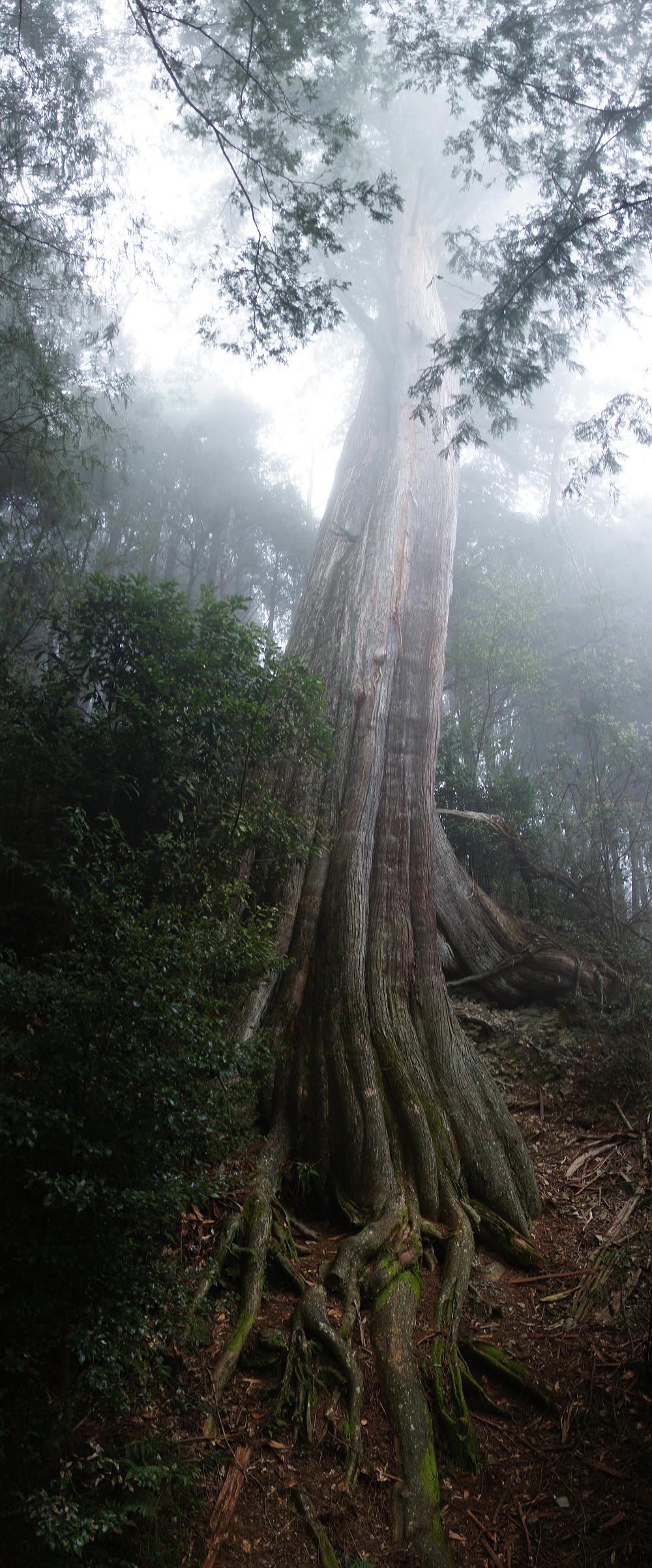 觀霧巨木步道-073