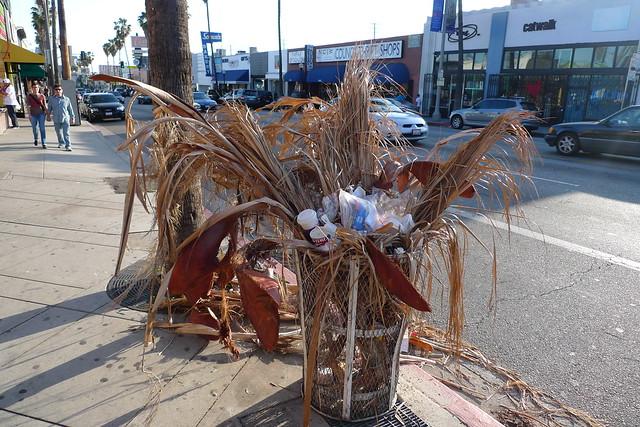 pygmy palm