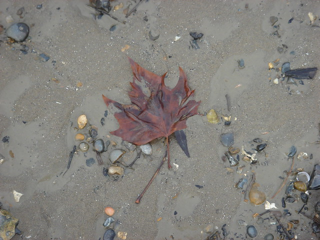 Maple Leaf By The Thames