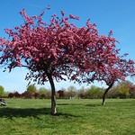 Cherry Tree Blossom, Overpeck County Park, Leonia, New Jersey