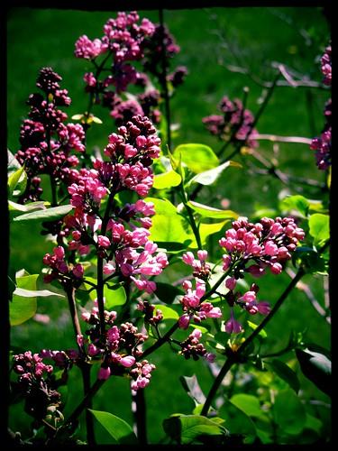 Violets in Bud