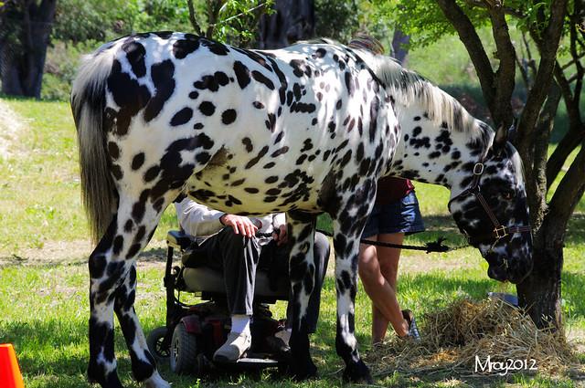 Dalmatian Horse