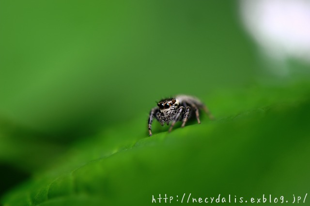 jumping spider...