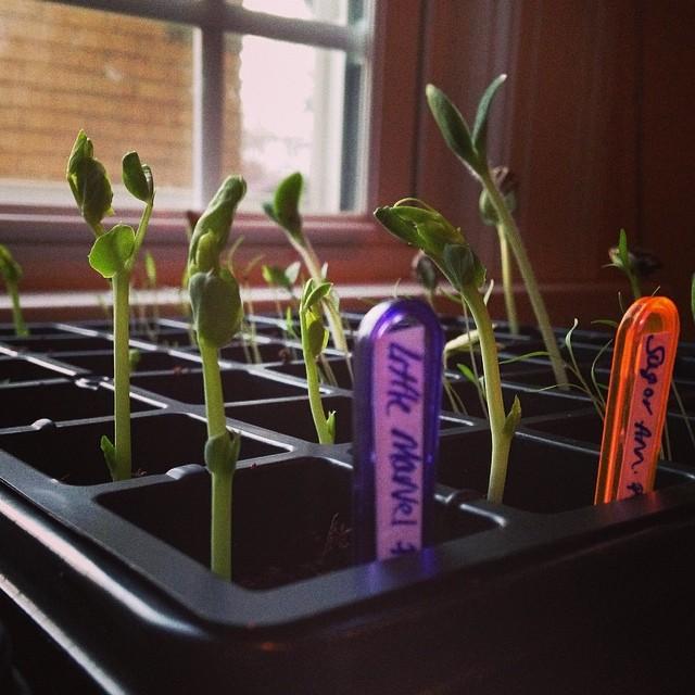 Greenie babies! #garden #gardening #flowergarden #veggiegarden #spring #seedlings