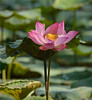Water Lily by Purple_man
