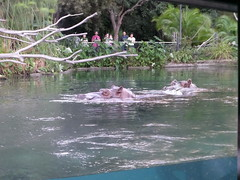Hippopotamus Pair