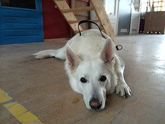 animal, dog, pet, white shepherd, mammal, berger blanc suisse, korean jindo dog,