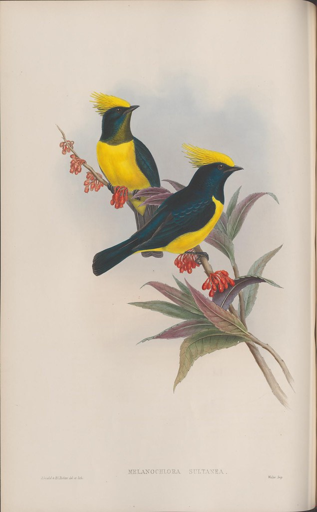 2 blue birds with yellow plumes and body markings in branch - lithograph 1800s