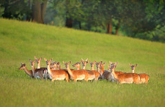Wild Fallow Deer Herd