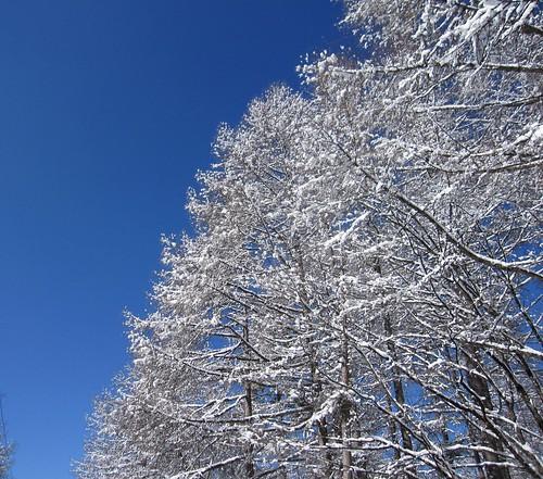青空と雪を被った木々 by Poran111