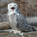 Snowy owl by Through The Big Lens