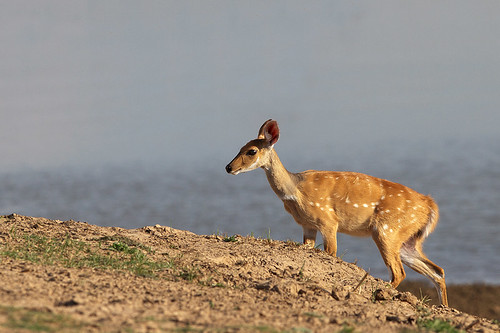 What does a bushbuck