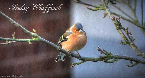 Friday Chaffinch
