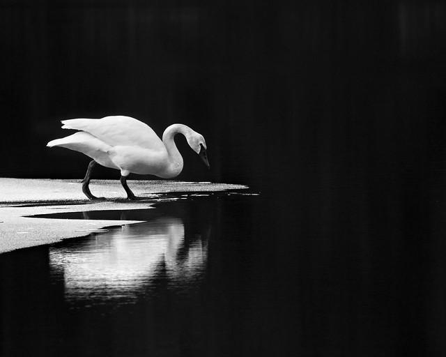 Reflection Swan