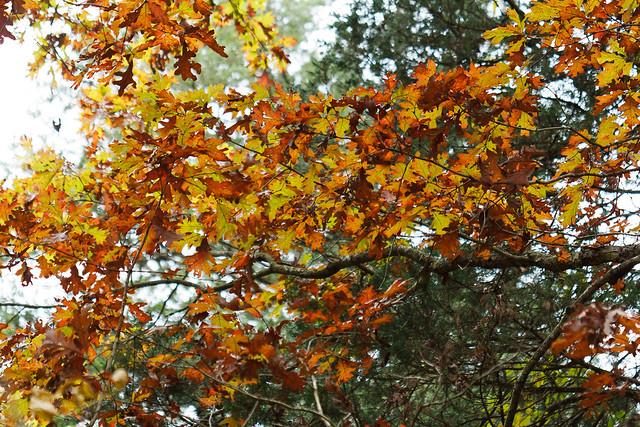Quercus alba white oak tentative id fall color by