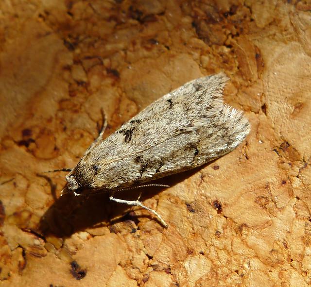 Header of Oecophoridae