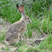 Jackrabbit by debraturner