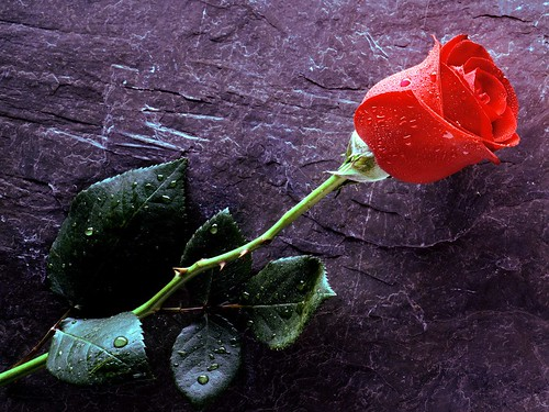 6855748739 6753918eec Celebrate Valentines Day with Symbol of Love   The RED ROSES