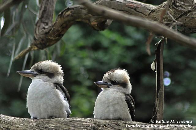 82-366 Two Kookaburras on watch