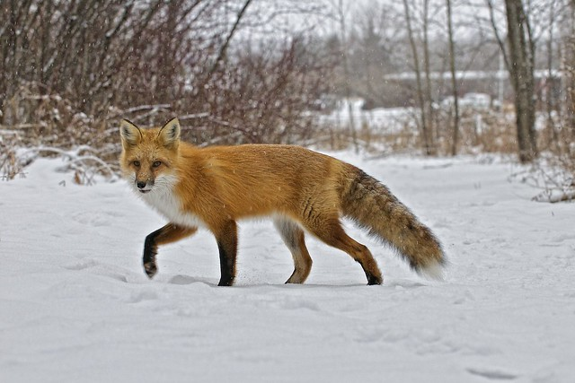 red fox in snow - photo #32