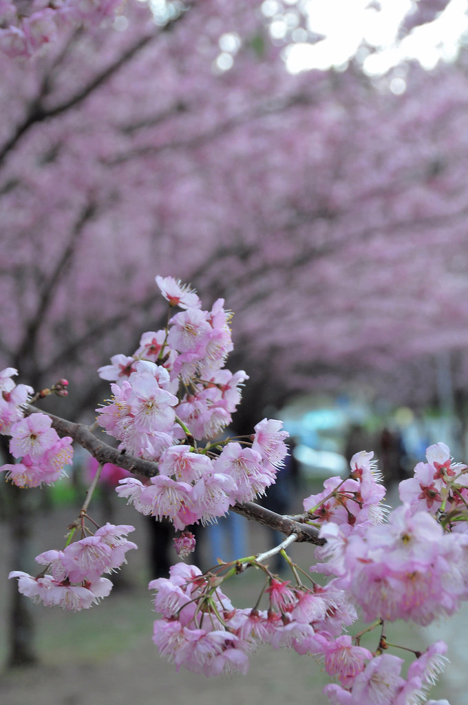 武陵 櫻花