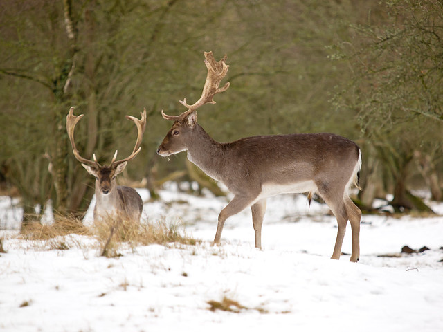 Fallow Deer   - Amsterdam Water Supply Dunes