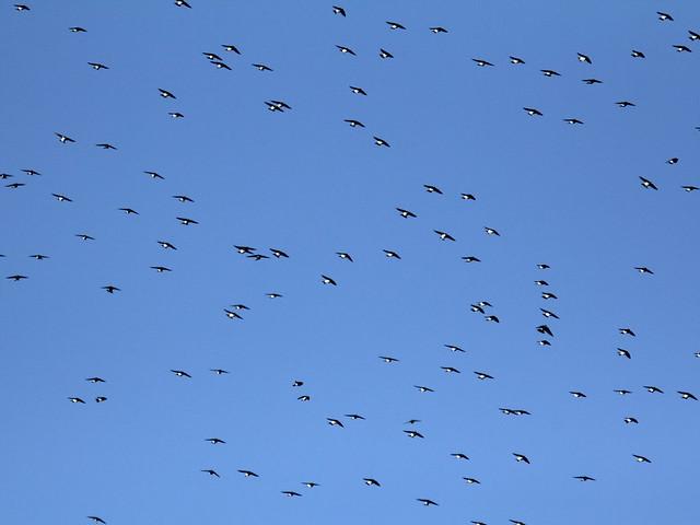 Tree Swallows 20120213