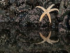 Sea Star Tide