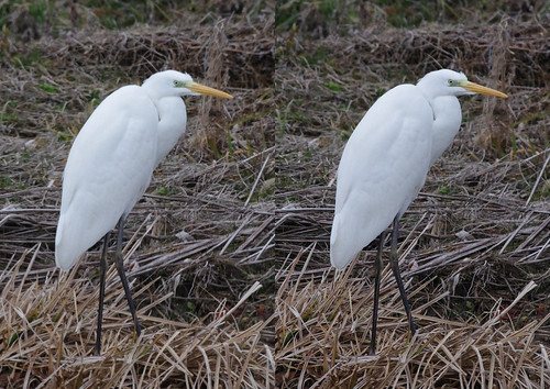 Ardea alba, stereo parallel view