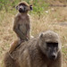 Small photo of A Mother & Baby Baboon