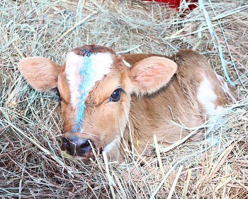 Newest Calf