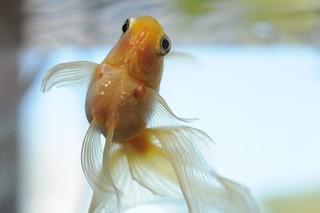 Gold Fish -RyuKin-