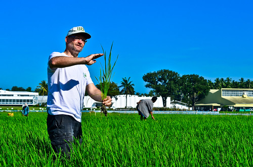 Achim holds up a rice plant, pointing out that during this critical point in its growth, the plant will efficiently absorb nitrogen fertilizer.