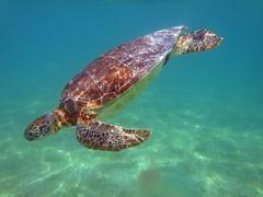Sea Turtle at Akumal Beach Mexico