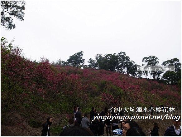 台中市北屯_大坑濁水巷櫻花林20120225_R0059960