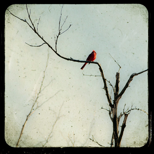 The Cardinal by The Shutterbug Eye™