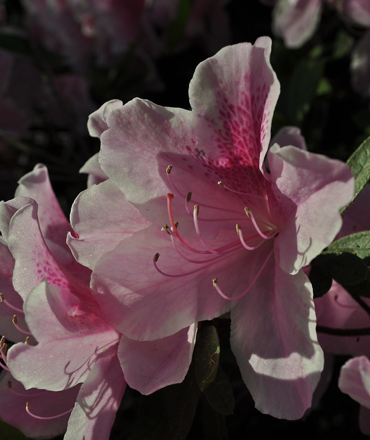 Rhododenron x 'George Taber'