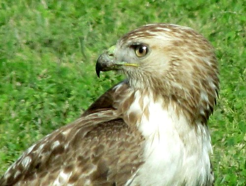 Hawk-2