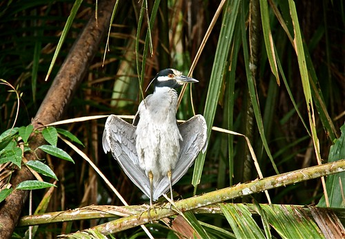 Yellow-crowned Night-Heron 03