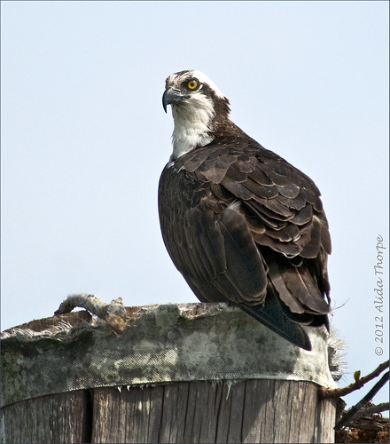 osprey waiting by Alida's Photos